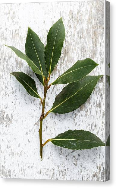 Presentations Canvas Print - Fresh Laurel by Nailia Schwarz
