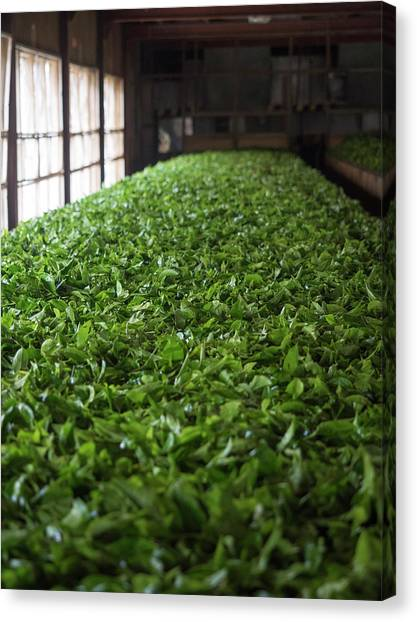 Tea Leaves Canvas Print - Freshly Picked Tea Leaves by Panoramic Images