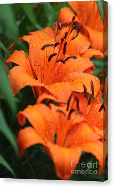 Freshly Showered Tiger Lilys Canvas Print