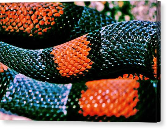 Coral Snakes Canvas Print - Friend Of Jack by Benjamin Yeager