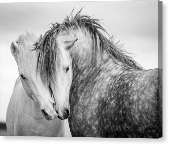 Black Stallion Canvas Print - Friends II by Tim Booth