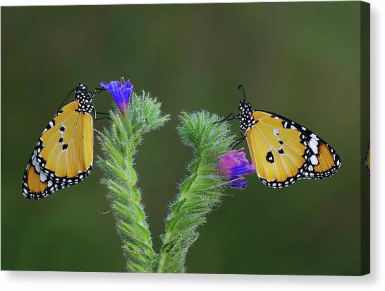 Yellow Butterfly Canvas Print - Friendship by Savas Sener