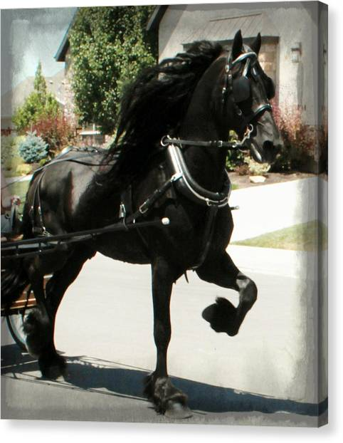 Friesian Driving Canvas Print