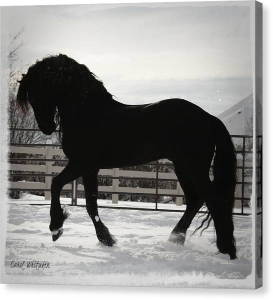 Friesian Play Canvas Print