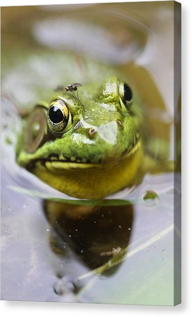 Frog And Fly Canvas Print