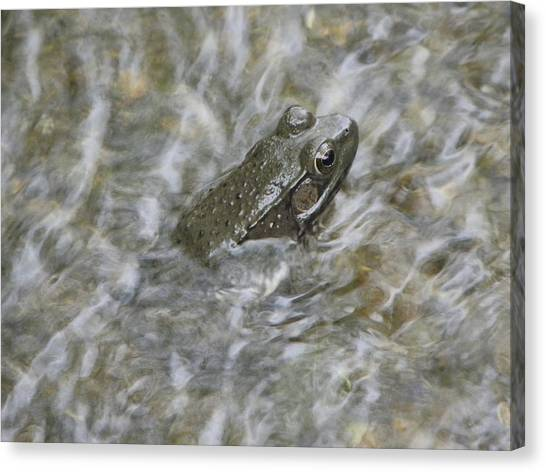 Frog In Rippling Water Canvas Print by Cim Paddock