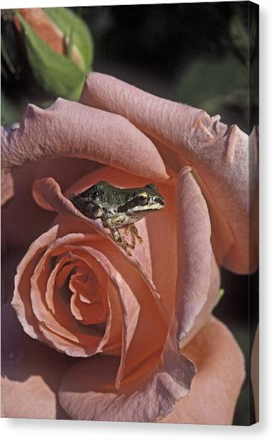 Frog On Rose Canvas Print