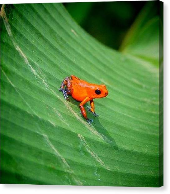 Rainforests Canvas Print - #frogs #amphibians #reptiles #jungle by Sherri Elliott