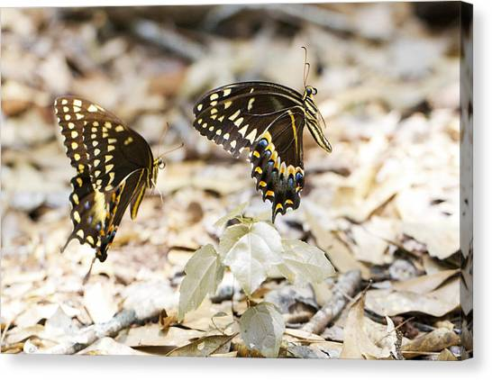 Frolicking Butterflies Canvas Print