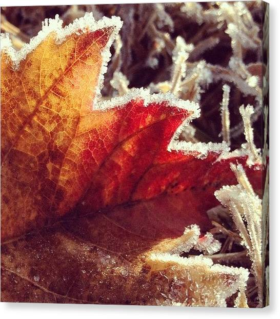 Kiss Canvas Print - Frost Kisses The Edges Of A Fiery Maple by Amber Flowers