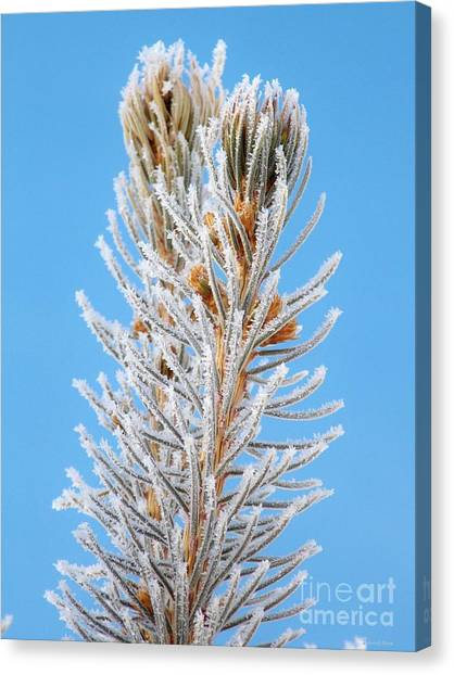 Frosted Blue Spruce Tips Canvas Print