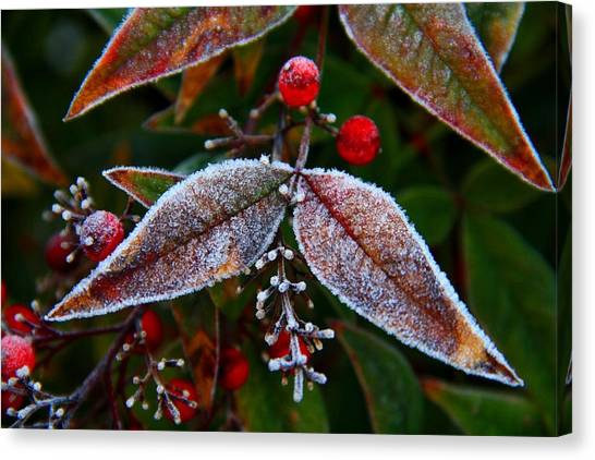 Frosted Nandina Leaves Canvas Print