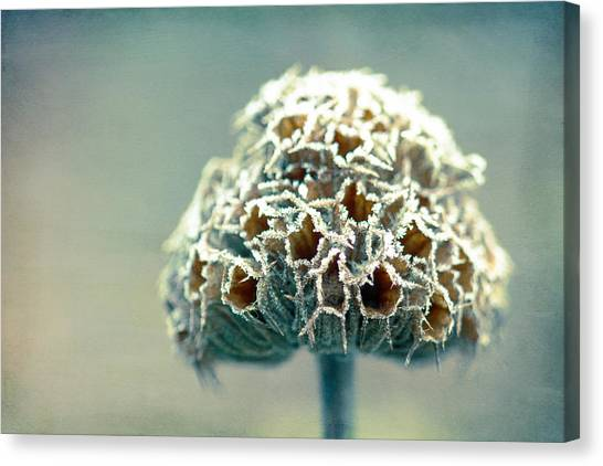 Frosted Seed Head Canvas Print by Julie Hill