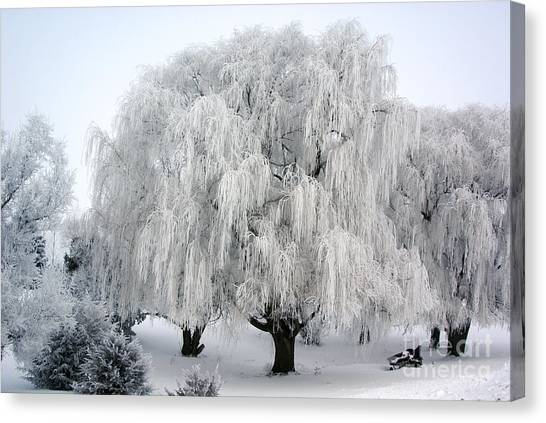 Frosted Willow Trees Canvas Print