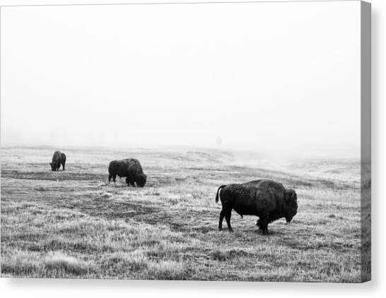 Yellowstone National Park Canvas Print - Frosty Bison by Mark Kiver