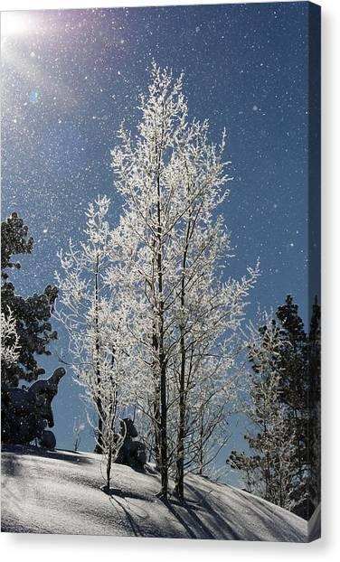 Frosty Colorado Aspen Canvas Print