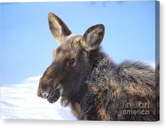 Frosty Moose Canvas Print