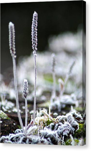 Frosty Weed Canvas Print by Karen Grist