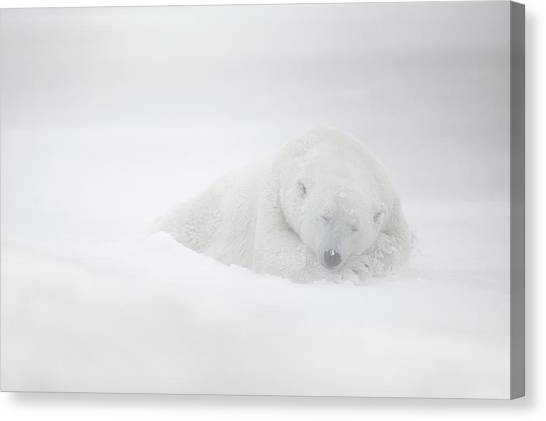 Polar Bears Canvas Print - Frozen Dreams by Marco Pozzi