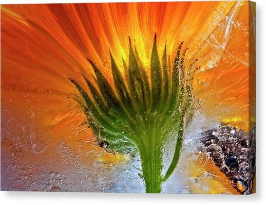 Frozen Marigold Canvas Print by Secundino Losada