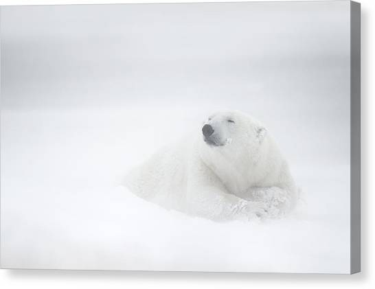Polar Bears Canvas Print - Frozen Thoughts by Marco Pozzi