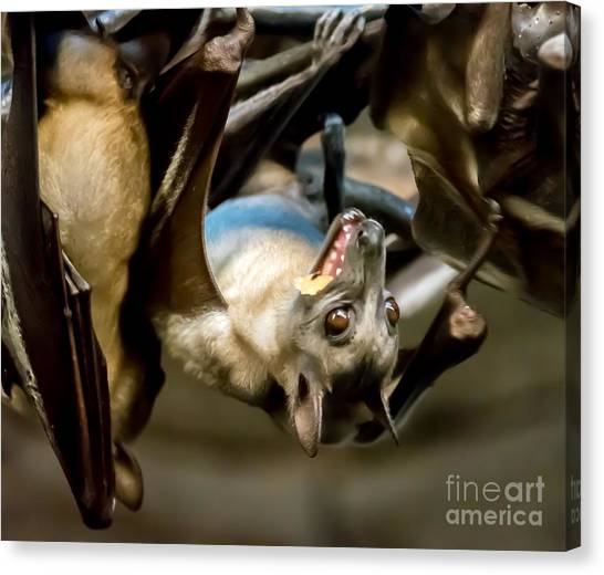 Fruit Bat Fedding Time Canvas Print
