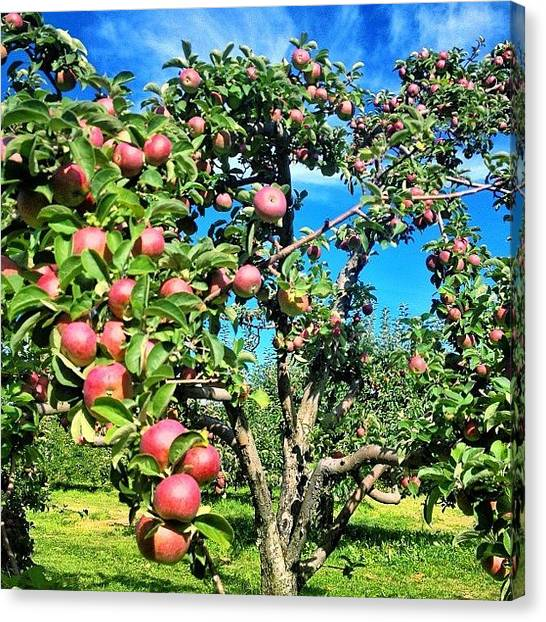 Apple Tree Canvas Print - Fruitful! ~ Visited Two Orchards Today by Chris T Darling