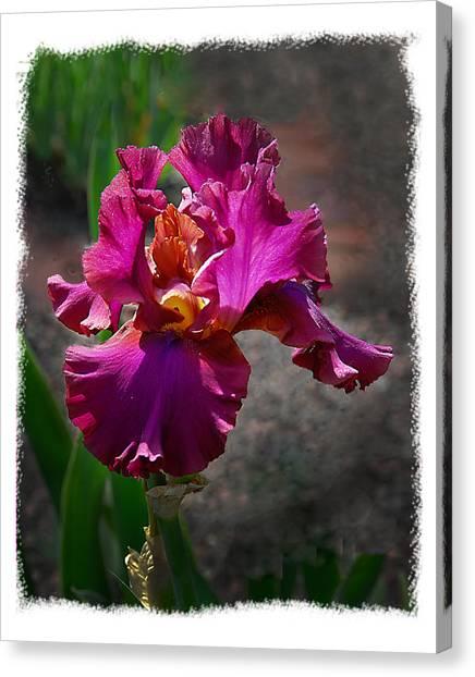 Fuchia Iris Canvas Print by Wynn Davis-Shanks