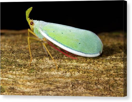 Fulgorid Bug Canvas Print by Dr Morley Read