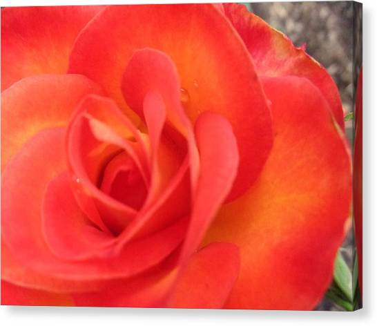 Full Bloom Canvas Print by Rose Clark