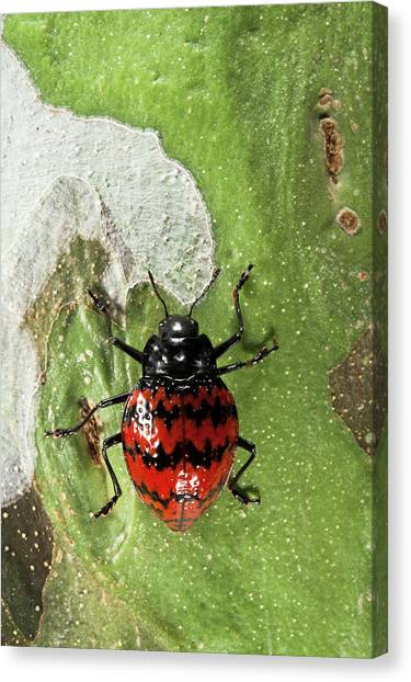 Ecuadorian Canvas Print - Fungus Beetle (erotylidae by Pete Oxford