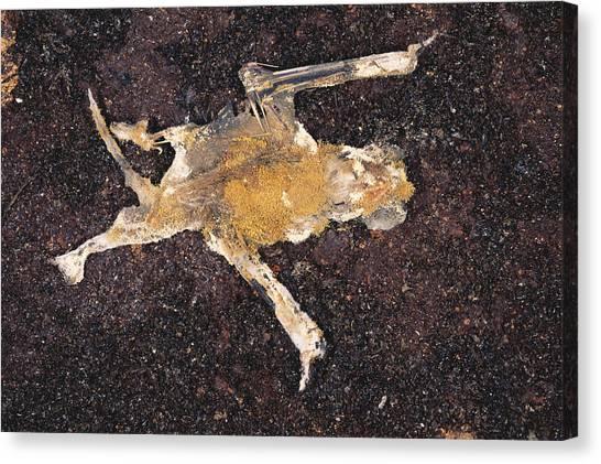 Limestone Caves Canvas Print - Fungus-covered Dead Bat by Simon D. Pollard