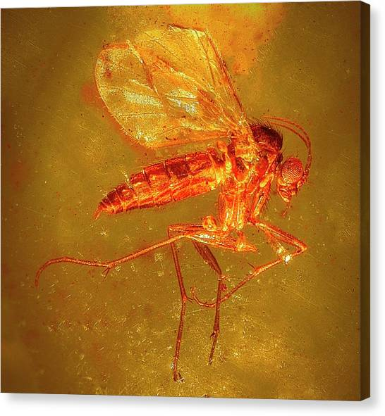 Gnats Canvas Print - Fungus Gnat In Amber by Alfred Pasieka/science Photo Library