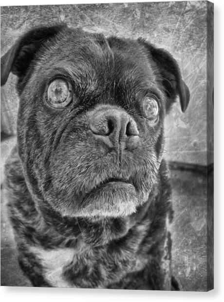 Pugs Canvas Print - Funny Pug by Larry Marshall