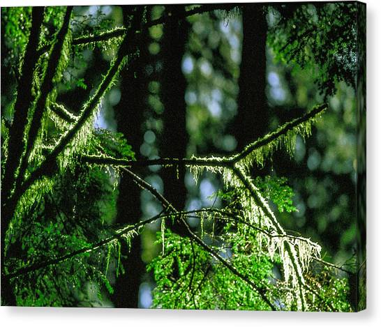 Furry Branches Canvas Print by Kim Lessel