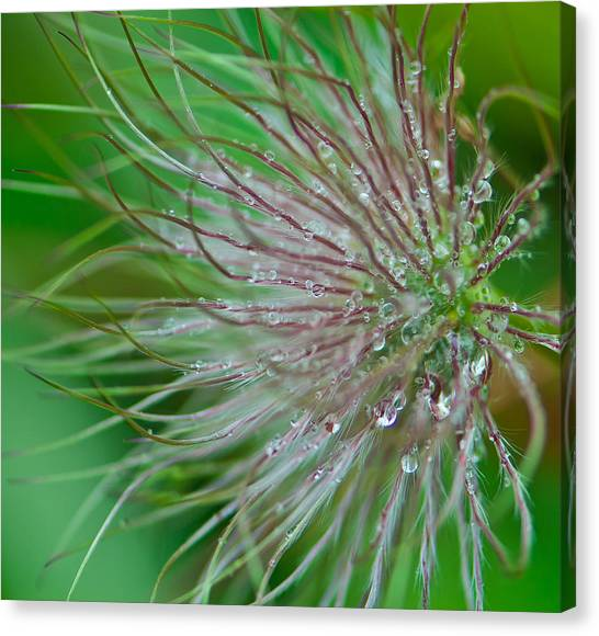 Fuzzy Flower Canvas Print by Sarah Crites