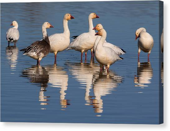Gaggle Of Snow Geese Reflected Canvas Print