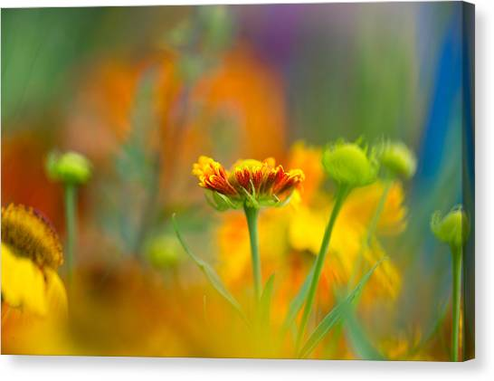 Gaillardia Gladness Canvas Print