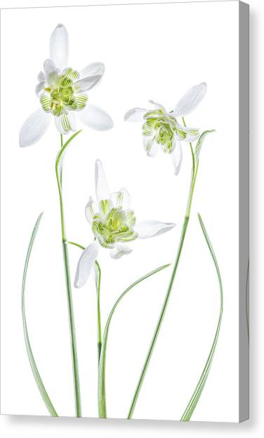 Galanthus Flore Pleno Canvas Print by Mandy Disher