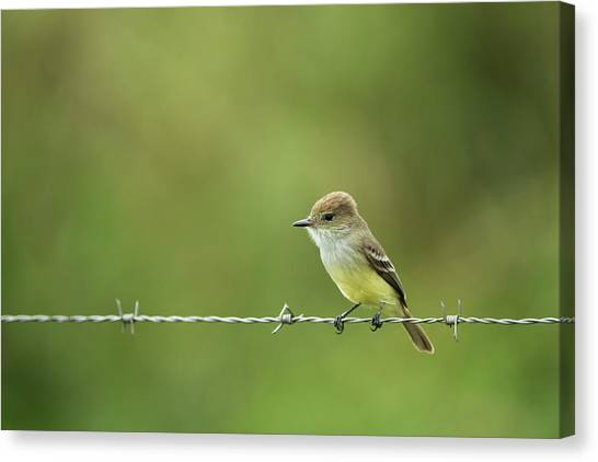 Flycatchers Canvas Print - Galapagos Flycatcher (myiarchus by Pete Oxford