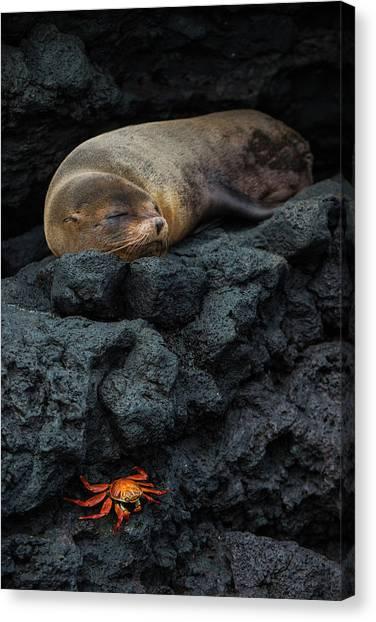 Ecuadorian Canvas Print - Galapagos Fur Seal (arctocephalus by Pete Oxford