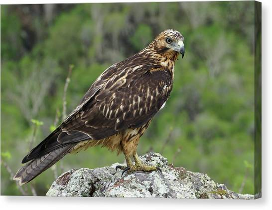 Galapagos Hawk Buteo Galapagoensis Canvas Print by Photostock-israel/science Photo Library