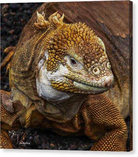 El Paso Art Association Canvas Print - Galapagos Land Iguana  by Allen Sheffield
