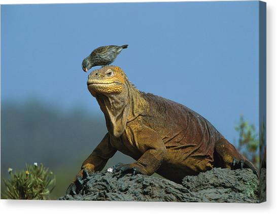 Land Iguana Canvas Print - Galapagos Land Iguana And Finch by D Parer  E Parer Cook
