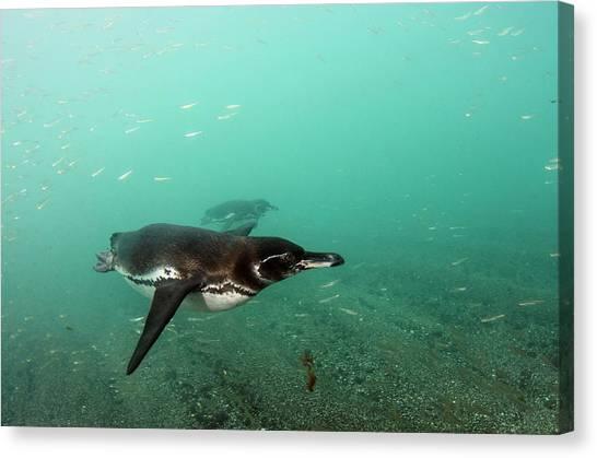 Ecuadorian Canvas Print - Galapagos Penguin (spheniscus Mendiculus by Pete Oxford