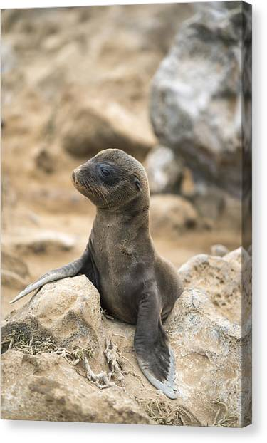 And Threatened Animals Canvas Print - Galapagos Sea Lion Pup Champion Islet by Tui De Roy