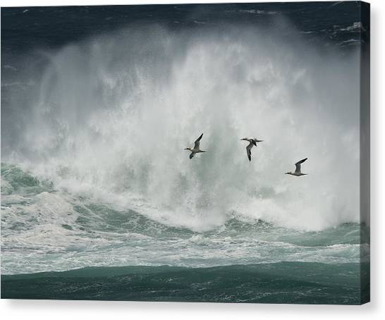 Gannets Past A Raging Sea. Canvas Print
