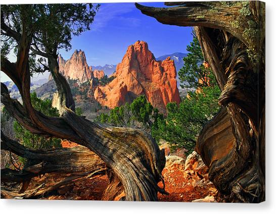 Pine Trees Canvas Print - Garden Framed By Twisted Juniper Trees by John Hoffman
