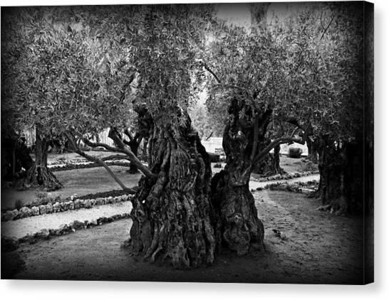 Palestinian Canvas Print - Garden Of Gethsemane Olive Tree by Stephen Stookey