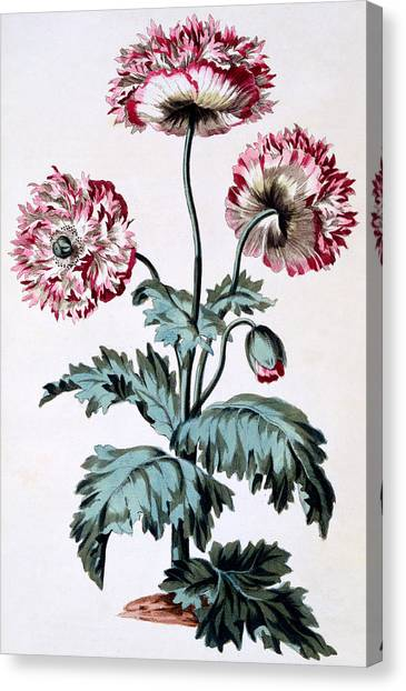 In Bloom Canvas Print - Garden Poppy With Black Seeds by John Edwards